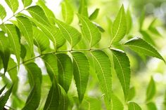Neem is a magical tree that are used for its medicinal properties,Neem has anti- bacterial; anti- parasitic, anti- fungal, anti-inflammatory and analgesic properties that not only benefit your health in many way like Neem in Viral Diseases,Neem for Skin,Neem for Diabetes,Neem as Contraceptive,Neem for Digestive Health,Neem for Heart Health,Neem for Oral Care,Neem for Detox,Neem for Arthritis.
