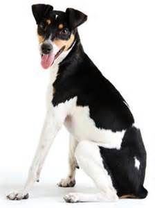 The Brazilian Terrier, commonly called Fox Paulistinha, is a breed of dog developed in Brazil.