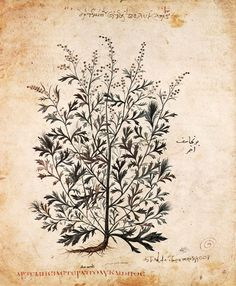 plant from theVienna Dioscorides