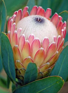 Resendiz Brothers Protea Growers LLC was etablished in 1999 with a passion for growing exotic South African and Australian flowers.