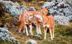 Lobos etíope o abisinios