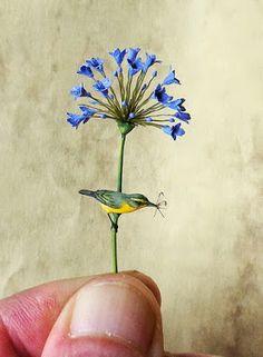 Beth Freeman-Kane: Yellow Warbler on Agapanthus flower