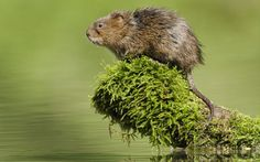 Photographer Terry Whittaker followed these adventurous water voles for nine years as conservationists battled to boost their numbers in the British countryside.