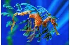 Sea Dragon (: Facts: Size relative to a tea cup. Sea Dragons have no predators. Beautiful Creatures, Animals Beautiful, Beautiful Ocean, Weedy Sea Dragon, Dragon Facts, Vida Animal, Parcs, Weird And Wonderful, Animals Of The World