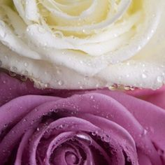 These roses are an ideal choice for preserving with epoxy resin.