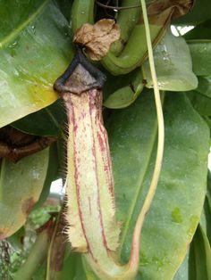 Carnivorous plants at Longwood Nursery