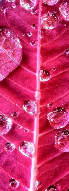 Hot pink leaf...water drops