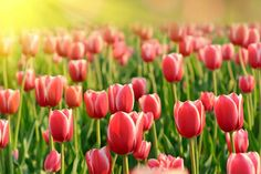 Red Tulips for Wall Decor by Print a Wallpaper - Offering Wallpaper Solution at USD 2.0 / sq.ft. Email us at info@printawallpa... or call us at +91-98110-31749