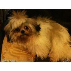 Luna!! #shihtzu #dog#philippines #フィリピン#シーズー#犬