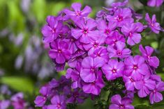 Phlox Flowers, Purple Flowers, Red Purple, Flowers Garden, Yellow, Orchid Plants, Tall Plants, Shade Plants, Phlox Plant