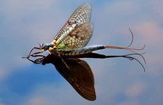 Drake Magazine Online • View topic - A few bugs from this summer // Drake Fly Fishing Magazine