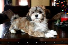 HavaHug Havanese Puppies, is a Michigan based Havanese breeder of quality Chocolate AKC Havanese Dogs. Non-shedding, Hypo-allergenic Puppies. Breeder of the Most Beautiful Chocolate Havanese! Havanese Breeders, Havanese Puppies For Sale, Havanese Dogs, Cute Puppies, Pet Dogs, Dogs And Puppies, Pets, Havanese Grooming, Havanese Haircuts