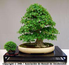Cómo valorar un bonsái http://bonsaimania.com/articulos/como_valorar_un_bonsai.htm