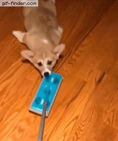 Just A Corgi Hanging At And Sliding With A Mop | Gif Finder – Find and Share funny animated gifs