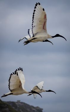 African Sacred Ibis ~ by Andry