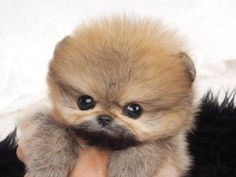 for gorgeous Teacup Pomeranian for sale Fully Grown Call us at or Whatsapp at teacup pomeranian for sale puppies teacup pomeranians for sale teacup pomeranian puppies for sale micro teacup pomeranian for sale po Micro Teacup Pomeranian, Micro Teacup Puppies, Pomeranian Facts, Pomeranian Breed, Pomeranian Puppy For Sale, Cute Pomeranian, Tiny Puppies, Pomeranians, Teacup Dogs
