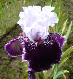 TB Iris Salome's Butterfly - Blyth  09/10  Photo by Iris Sisters Farm