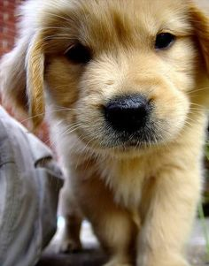 Golden Retriever Puppy funny dog funny cute animals dog puppies It's true. Golden Retriever Mix, Retriever Puppy, Golden Retrievers, Labrador Retrievers, Cute Puppies, Cute Dogs, Dogs And Puppies, Doggies, Baby Dogs