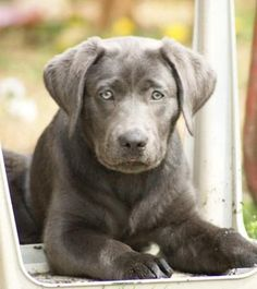Willow - charcoal silver lab.  Beautiful.