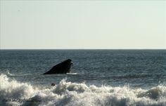 A humpback whale off the beach in  Nag's Head June 2013