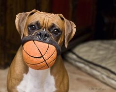 Boxers love having balls in their mouths...and eating them too!