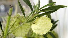 We spotlighted balloon plant milkweed, a curious clipping that gives arrangements a dynamic look.