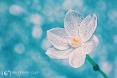 Spellbinding Nature Close-up - Macro Photography of Alex Greenshpun - PhotoArtMag Qoutes Of The Day, Renz, Daffodil Flower, Tiny Star, Past Relationships, Beyond Words, Turquoise, Macro Photography, Daffodils