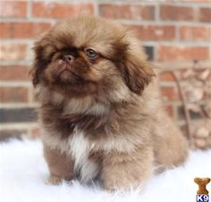 pekingese puppies - Google Search
