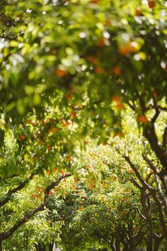 Seville Orange Blossom - The Londoner Citrus Trees, Fruit Trees, Orange Trees, Shadow Tree, Blossom Garden, Seville Spain, Orange Blossom, Summer Garden, Botany