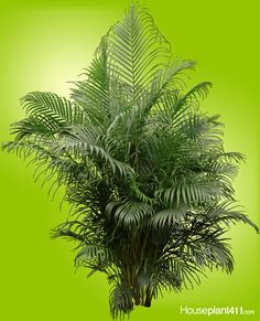 Plant Insects, Plant Pests, Indoor Palms, Indoor Trees, Air Cleaning Plants, Air Plants, Palm Plant Care, Areca Palm Plant, Poisonous Plants