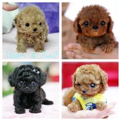 Teacup poodles <3 They are so adorable!