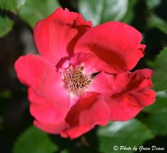 Roses have the classic five petals. Photo by Green Deane eat - roses