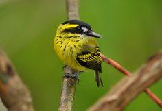 ferreirinho-de-sobrancelha -   Todirostrum chrysocrotaphum (Strickland, 1850) --{ Birds }--