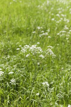 Groutweed. Also known as Bishop's Weed. Supposedly good for hemorrhoids.