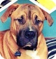 Flintstone, MD - Bullmastiff/Boxer Mix. Meet Cash a Dog for Adoption.
