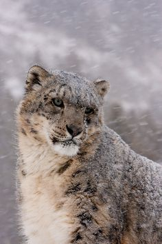snow crusted fur (by missysnowkitten)