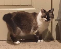 Cheska - URGENT - HUMANE SOCIETY OF CLARKSVILLE-MONTGOMERY COUNTY in Clarksville, TN - ADOPT OR FOSTER - 4 year old Female Snowshoe Siamese Cat - She was traumatized in a hoarding situation and is very sweet but very skittish around people until she trusts them. She has not been observed around dogs. Cheska is still shy around people but loves other cats so would thrive in a home that has other cats to help her come out of her shell.