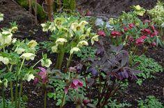 Not on list, but Marywynn liked on our walk - Helleborus - many varieties and colors  Northwest Garden Nursery: Hellebore Photo Gallery | Wholesale Hellebores, Eugene, Oregon | Winter Jewels