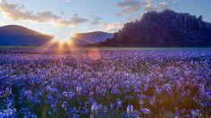 Скачать обои цветы, Айдахо, прерия, камассии, Camas prairie, восход, рассвет, степь, Idaho, раздел пейзажи в разрешении 1920x1080