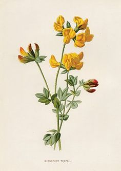 yellow Botanical Print, Bird's Foot Trefoil