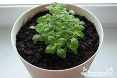 Как вырастить мяту на подоконнике    Подготовка посадочных мест и почва .  Для подготовки посадочных мест для выращивания мяты в домашних условиях нужно взять широкую и невысокую емкость, т.к. мята имеет довольно разветвленную и мощную корневую систему. Мята любит слегка подкисленную почву, поэтому подойдут смеси на основе торфа. Если вы планируете взять землю с дачного участка, выбирайте наиболее плодородную и жирную, мята будет лучше расти, и содержание полезных веществ в ней будет…