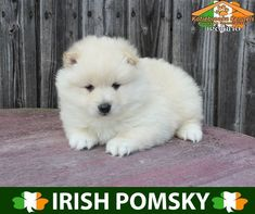 Pomsky For Sale - Katiebrooke Kennels Pomsky Specialists Pomsky Puppies For Sale, Cute Animal Pictures, Brown Eyes, Husky, Ireland, Cute Animals, Website, Dogs, Dog Dishes
