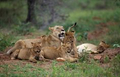 Lions at Kapama Luxury Tents, Game Reserve, Lions, Kangaroo, South Africa, Wildlife, Animals, Animales, Lion