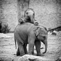 Baby elephant looking over another elephant