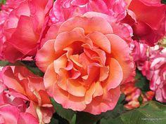 State Rose Garden http://wp.me/p5eBpq-g9 #photography #rose #australia #garden #photos
