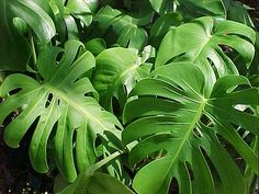 Philodendron Monstera deliciosa- What a beauty! I like several in the Philodendron family. Leave In, Monstera Deliciosa, Orchid Plants, Foliage Plants, Tropical Garden, Tropical Plants, Easy Care Indoor Plants, Philodendron Monstera, Monstera Leaves