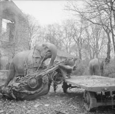 Kiri the elephant loads a wrecked car onto a cart during clear-up operations in Hamburg. Another elephant, named Many, can be seen in the background to the right of the photograph. 1945