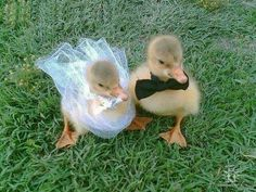 the wedding couple.  Quack Quack.
