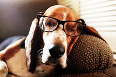 Bespectacled basset. Most people think Bassets are not smart because they don't follow commands well but actually they debate their choices!