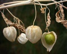 Kini, harga buah kecil kecut ini mencapai Rp 500 ribu per kilo.